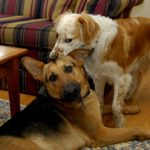Keuka loves to herd other dogs; here she plays the annoying little sister to her buddy Catalina.