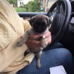 Pug Puppy Lily
